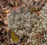 Cladonia rangiferina
