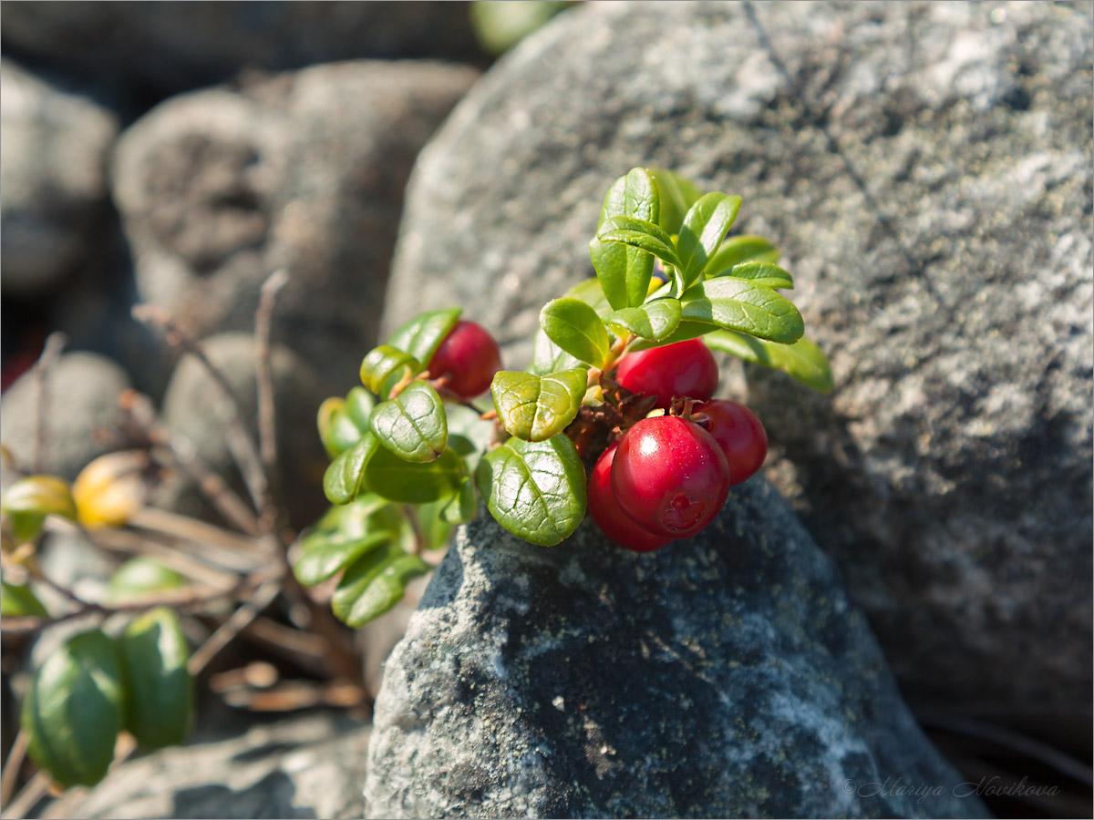 Брусника обыкновенная (Vaccinium vitis-idaea). Автор фото:Мария Новикова