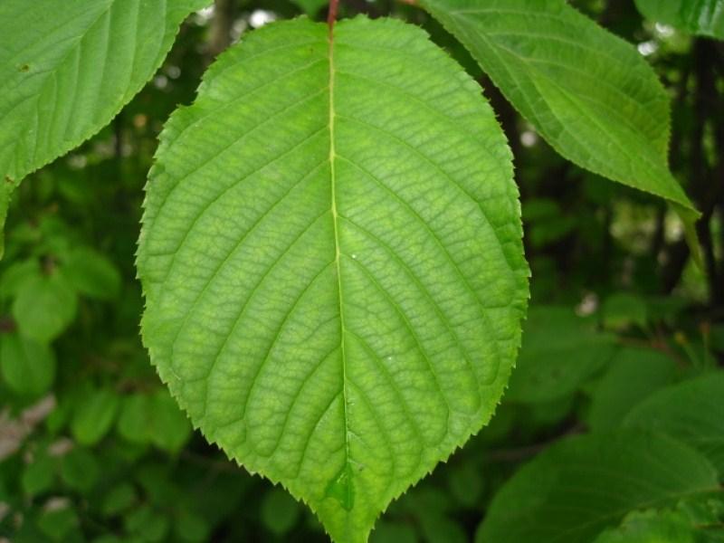 Листья вишни картинки