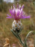 Centaurea sarandinakiae