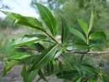 Salix rorida