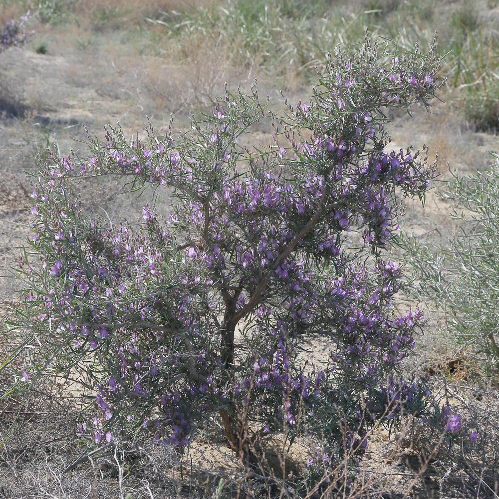 Изображение растения Astragalus ammodendron.