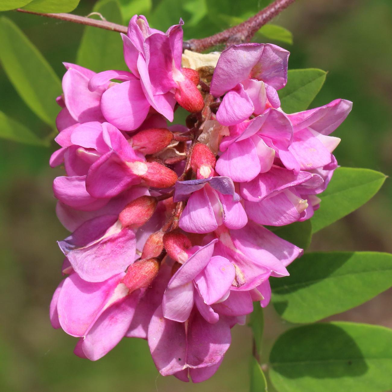 Робиния новомексиканская (Robinia neomexicana)