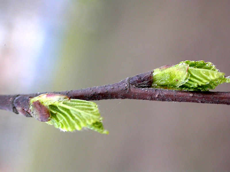 Фотографии березы весной когда распускаются почки