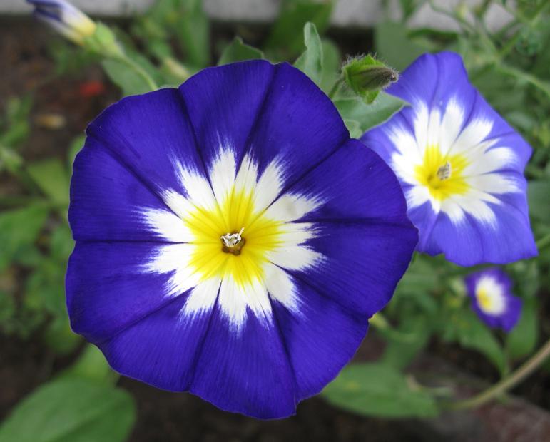 Вьюнок трехцветный (0,3 г). семена. (12.5.40). Купить. Киев.