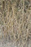 Eremopyrum orientale
