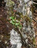 Micranthes nivalis