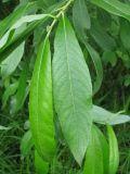 Salix × laurina