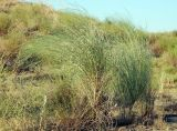 Eremosparton aphyllum