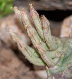 Orbea lutea ssp. vaga