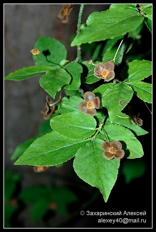 Бересклет бородавчатый (Euonymus verrucosa). Автор фото:Алексей Захаринский