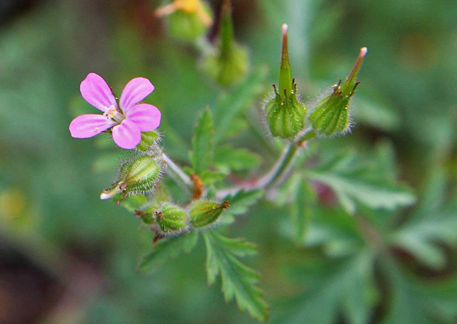 Герань Роберта (Geranium robertianum) Автор фото: Наталия Панкова
