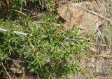 Cerasus tianschanica