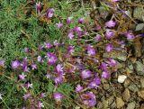 Astragalus stenoceras