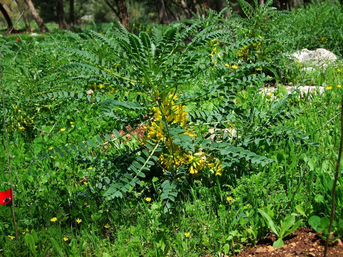 Изображение растения Astragalus macrocarpus.