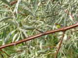 Elaeagnus oxycarpa