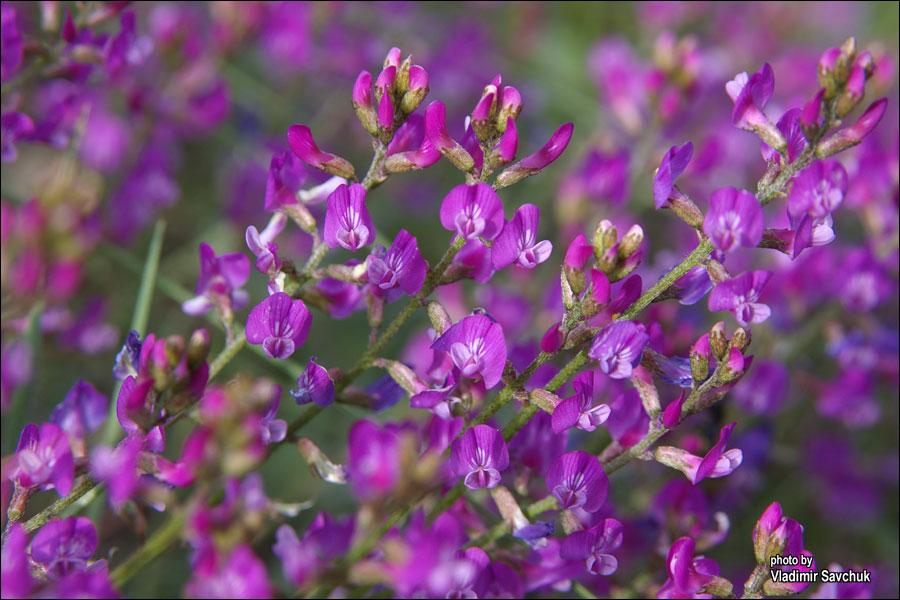 Изображение растения Astragalus tauricus.