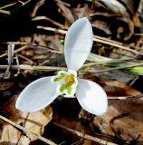 Galanthus caucasicus