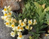 Linaria japonica