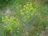 Euphorbia kaleniczenkoi