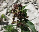 Vincetoxicum fuscatum