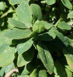 Berberis × neubertii