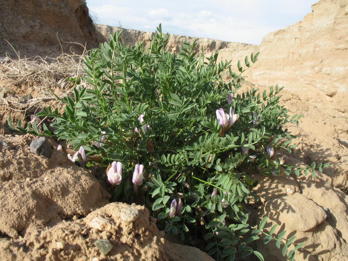 Изображение растения Astragalus tetrastichus.