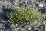 Anabasis brevifolia