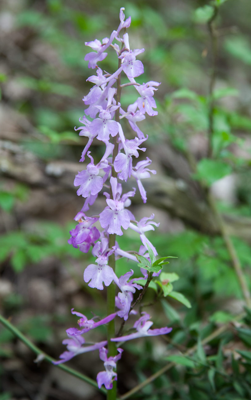 Image of Orchis mascula individual.