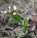 Microthlaspi perfoliatum