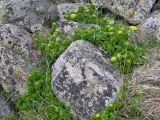 Rhodiola pinnatifida ssp. subpinnata