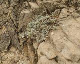 Astragalus helmii