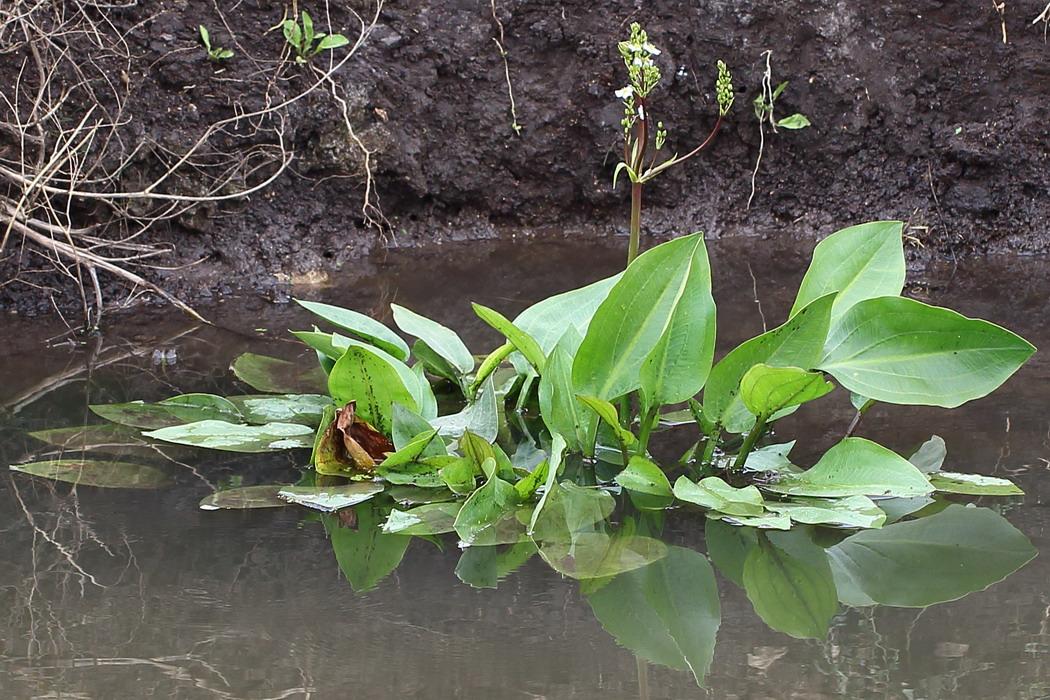 Частуха подорожниковая (Alisma plantago-aquatica)