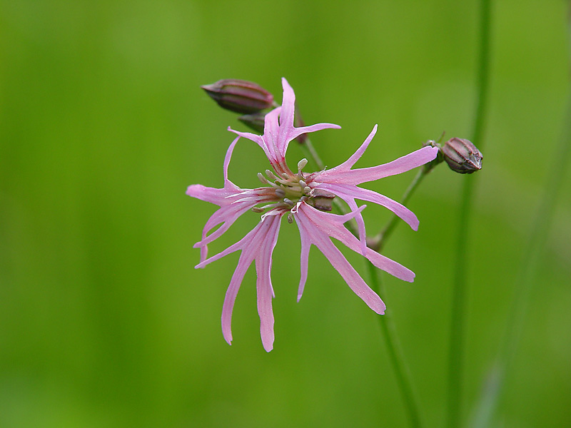 Кукушкин цвет обыкновенный (Coccyganthe flos-cuculi). Автор фото: Виталий Гуменюк