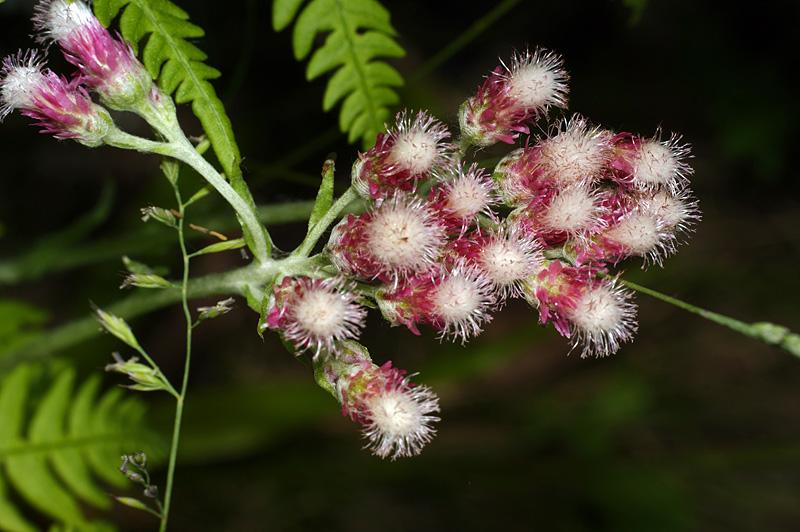 Кошачья лапка двудомная (Antennaria dioica) Автор фото: Виталий Гуменюк