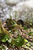 Pachyphragma macrophyllum