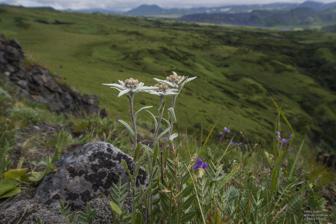 Фото цветов эдельвейсов на кавказе