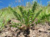 Astragalus sewertzowii