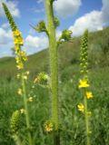 Agrimonia asiatica