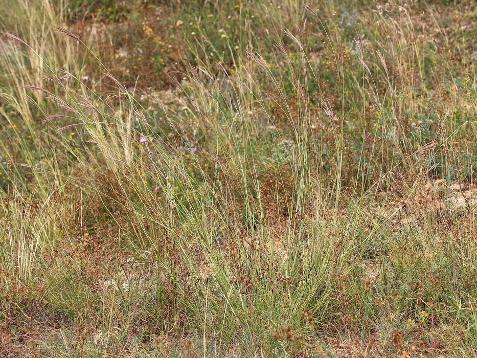 Бородач обыкновенный (Bothriochloa ischaemum)