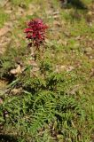 Pedicularis densiflora