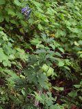Aconitum taigicola