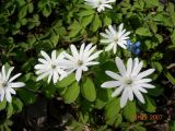 Anemone raddeana