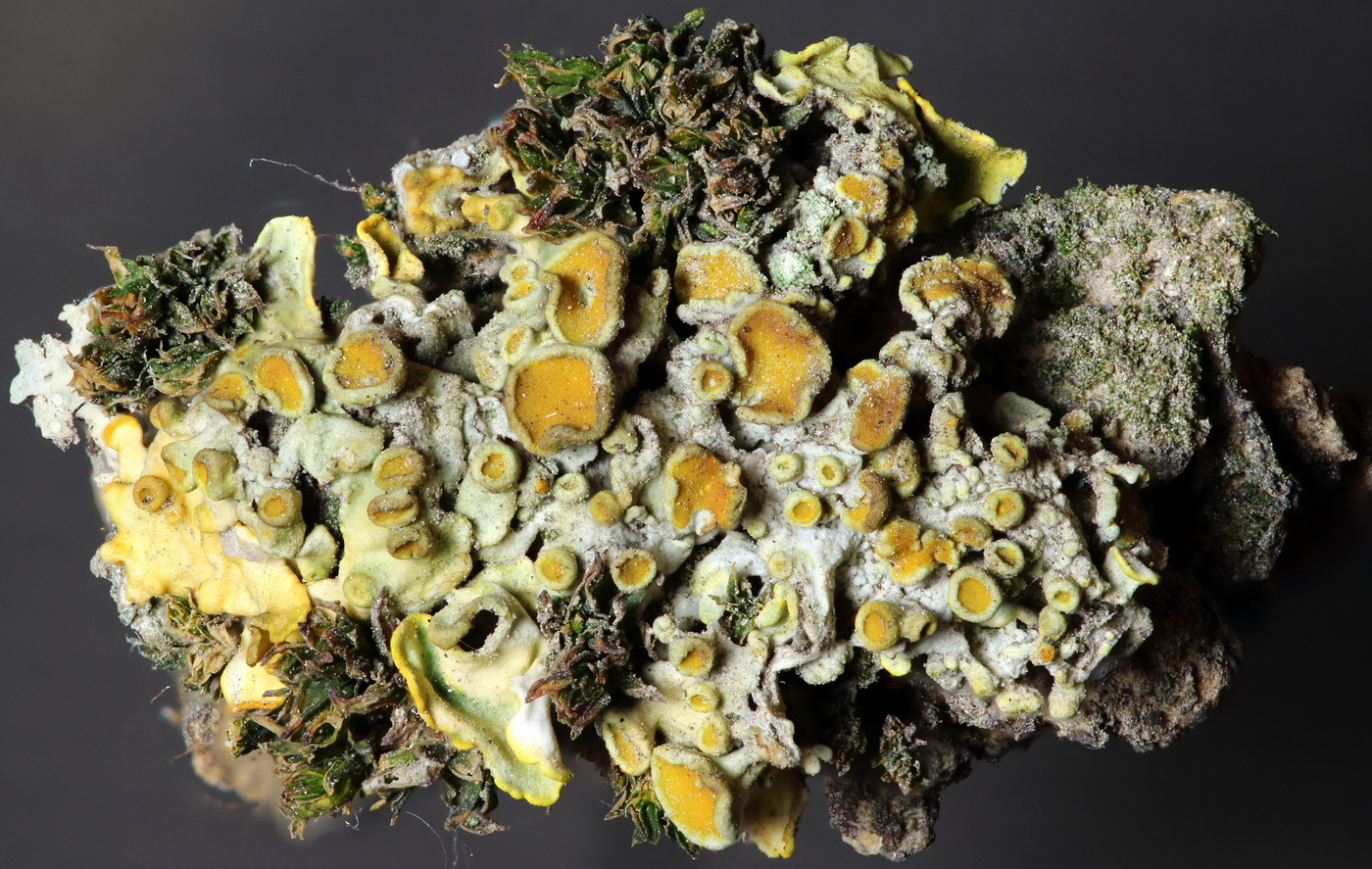 Ксантория многоплодная (Xanthoria polycarpa)