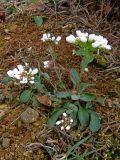 Noccaea macrantha