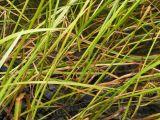Sparganium stenophyllum