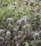 Trifolium diffusum