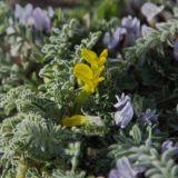 Astragalus alaicus