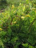 Hypecoum procumbens
