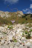 Cicerbita racemosa